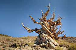 Bristlecone Pines in the Ancient Bristlecone Pine Forest, White